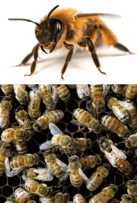 Bees, Pest Control