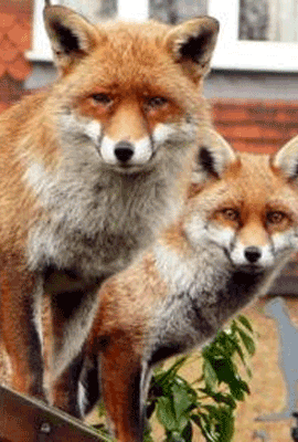 Foxes, Pest Control